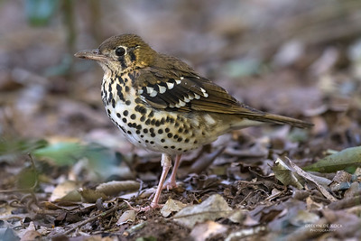 Spotted Ground Thrush, Eshowe, KZN, South Africa, May 2017-2