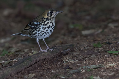 Spotted Ground Thrush, Eshowe, KZN, South Africa, May 2017-1