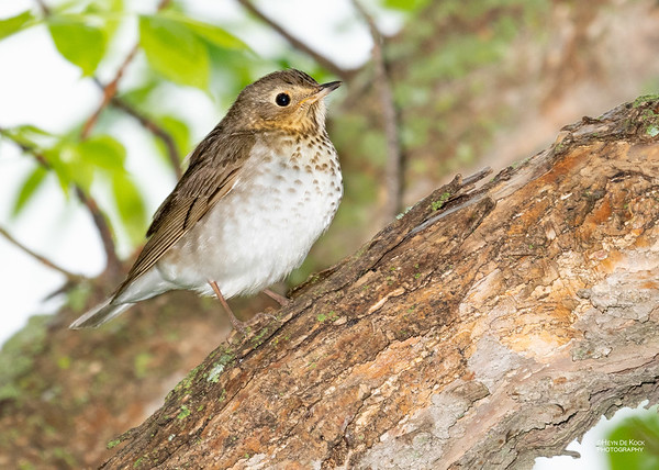 Swainson's Thrush, Standing Bear Lake, NE, USA, May 2018-1