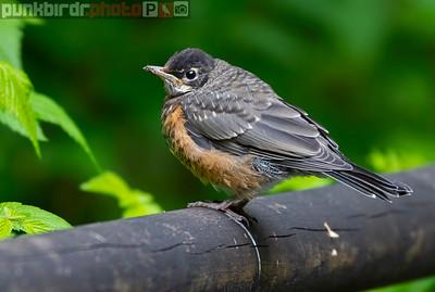 American Robin juvenile (Turdus migratorius)