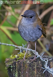 black-billed nightingale-thrush (catharsus gracilirostris)