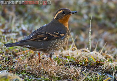 Varied Thrush female (Ixoreus naevius)