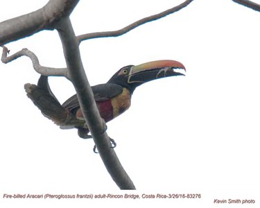 Fire-billed Aracari A83276