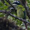 Emerald Toucanet A82986