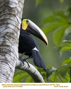 Yellow-throated Toucan A83861