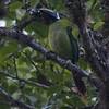 Emerald Toucanet A82979