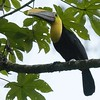 Yellow-throated Toucan A83893