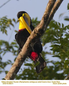 Yellow-throated Toucan A88011