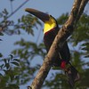 Yellow-throated Toucan A87988