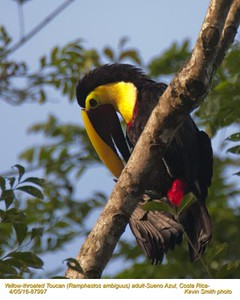 Yellow-throated Toucan A87997