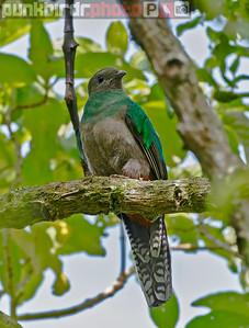 Resplendent Quetzal female (Pharomachrus mocinno)