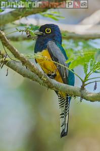 Guianan Trogon (Trogon violaceus)