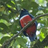 Orange-bellied Trogon M85859