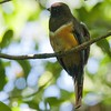 Orange-bellied Trogon F85885