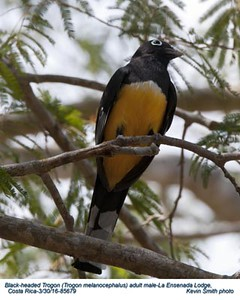 Black -headed Trogon M85679