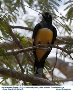 Black -headed Trogon M85676