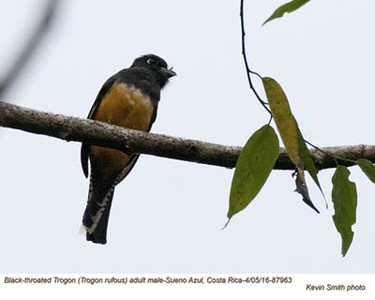 Black-throated Trogon M87863
