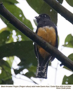 Black-throated Trogon M87894
