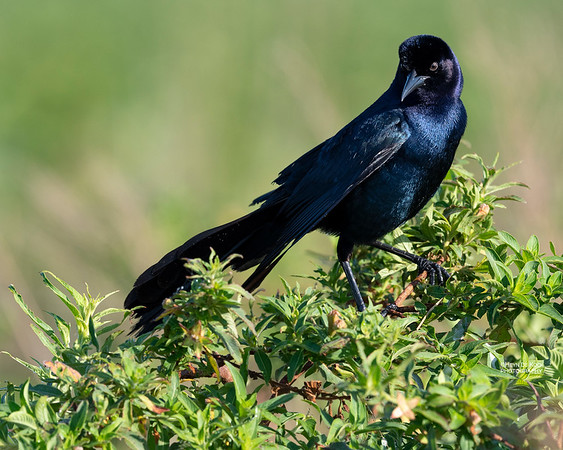 Boat-tailed Grackle, Kissimmee Swamp, Kenansville, FL, US, May 2018-2