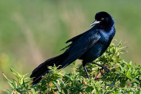 Boat-tailed Grackle, Kissimmee Swamp, Kenansville, FL, US, May 2018-1