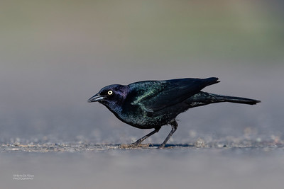 Brewer's Blackbird, Yellowstone NP, WY, USA May 2018-3