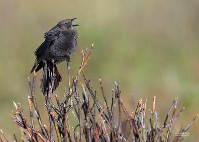 Brewer's Blackbird, f, Yellowstone NP, WY, USA May 2018-4