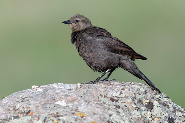 Brewer's Blackbird, f, Yellowstone NP, WY, USA May 2018-3