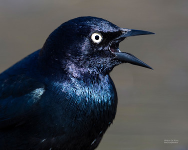 Brewer's Blackbird, Yellowstone NP, WY, USA May 2018-5