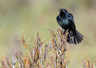 Brewer's Blackbird, Yellowstone NP, WY, USA May 2018-2