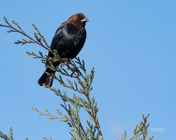 Brown-headed Cowbird, Standing Bear Lake, NE, USA, May 2018-1