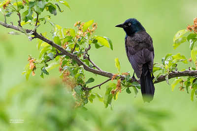 Common Grackle, Standing Bear Lake, NE, USA, May 2018-1