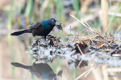 Common Grackle, Standing Bear Lake, NE, USA, May 2018-2