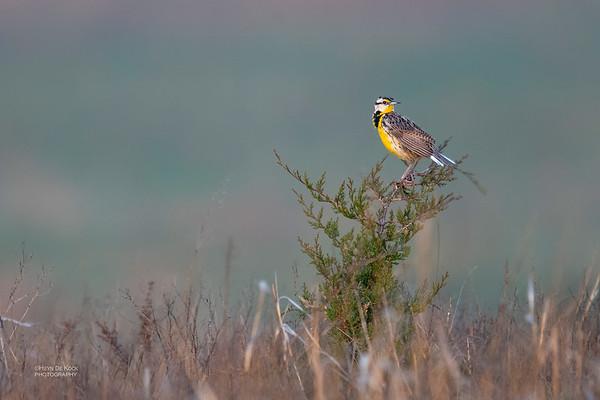 Eastern Meadowlark, Burchard, NE, US, May 2018-2