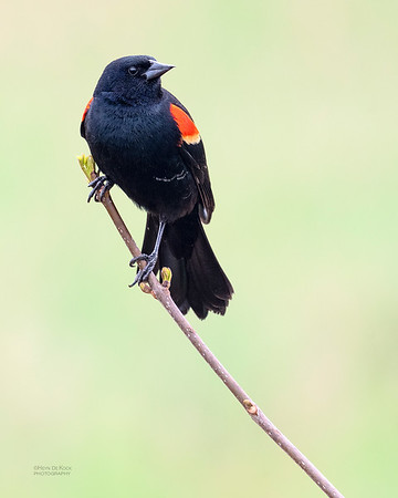 Red-winged Blackbird, Standing Bear Lake, NE, USA, May 2018-5