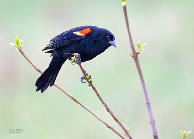 Red-winged Blackbird, Standing Bear Lake, NE, USA, May 2018-2