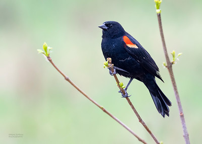 Red-winged Blackbird, Standing Bear Lake, NE, USA, May 2018-1