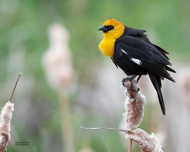 Yellow-headed Blackbird, Emigrant, MT, USA, May 2018-2