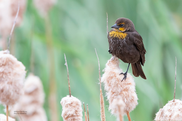 Yellow-headed Blackbird, f, Emigrant, MT, USA, May 2018-2