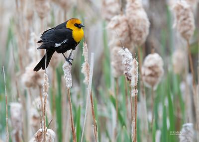 Yellow-headed Blackbird, Emigrant, MT, USA, May 2018-4