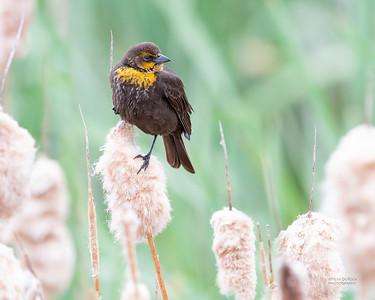 Yellow-headed Blackbird, f, Emigrant, MT, USA, May 2018-1
