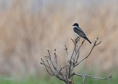 Eastern Kingbird, Burchard, NE, US, May 2018-2