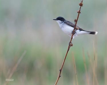 Eastern Kingbird, Burchard, NE, US, May 2018-1