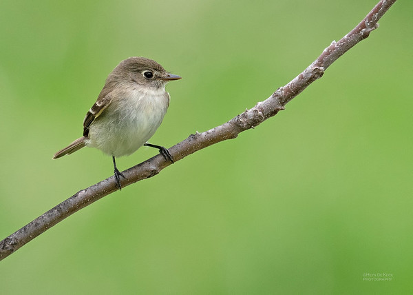 Least Flycatcher, Standing Bear Lake, NE, USA, May 2018-2