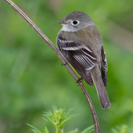 Least Flycatcher, Standing Bear Lake, NE, USA, May 2018-1