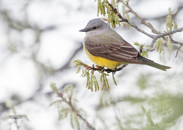 Western Kingbird, Standing Bear Lake, NE, USA, May 2018-3