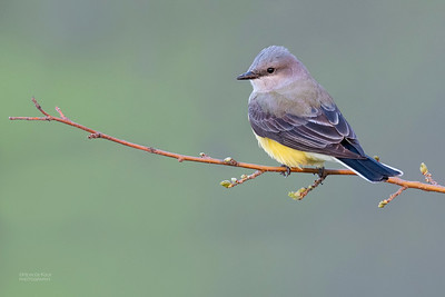 Western Kingbird, Standing Bear Lake, NE, USA, May 2018-2a