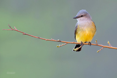 Western Kingbird, Standing Bear Lake, NE, USA, May 2018-1