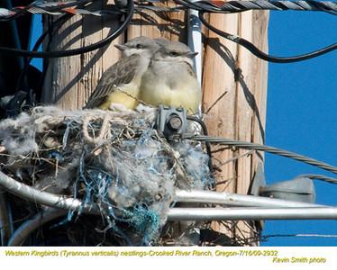 WesternKingbirdsN2932
