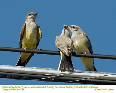 WesternKingbirdsA&J4128