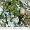 Brown-crested Flycatcher A12479
